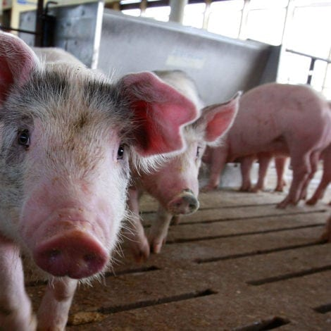PORK PROTEST: Mexico to Impose HUGE TAX on US Pig Products