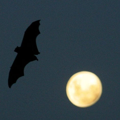 VIRUS UPDATE: Researchers Find More Evidence Deadly Disease Linked to BATS