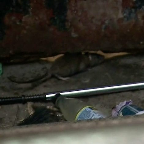 RAT CAPITAL: NYC Rat Population Explodes as Trash Piles Up, City Hall Cuts Garbage Pick-Ups 60%